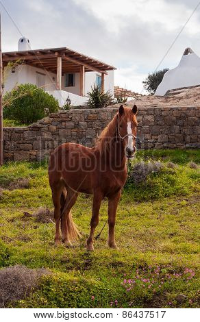Brown Horse In A Meadow Near The House In The Village. Mykonos. Greece.