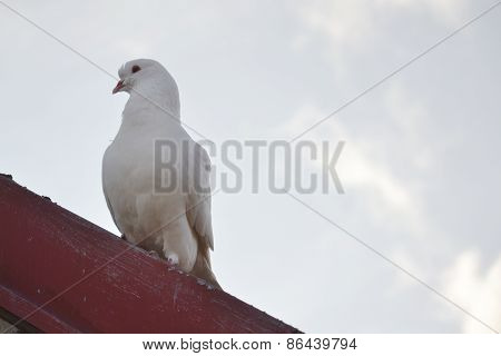 White Dove On Red Roofing Tiles