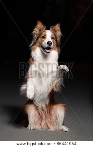 Happy Dog Border Collie Shows Trick