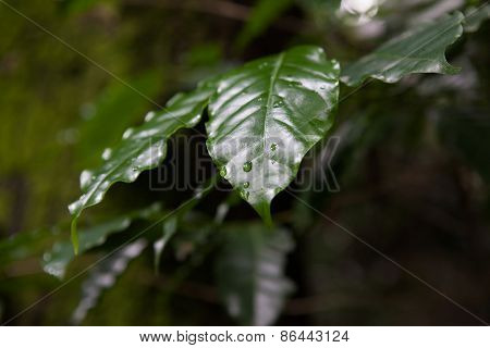 Dark Leaves With Dew Drops