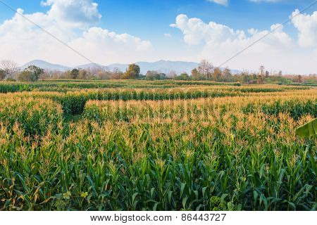 Area With  Agriculture Corn