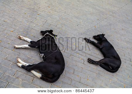Yard dogs sleep in the street