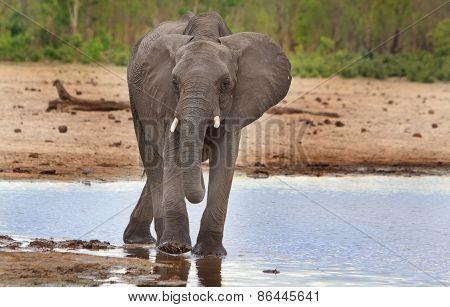 A Lone elephant drinking from a waterhole