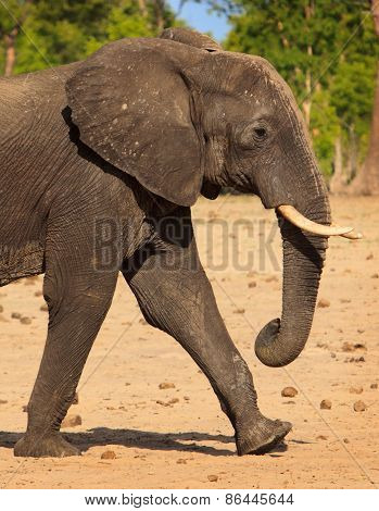 Lone elephant walking across the dusty plains
