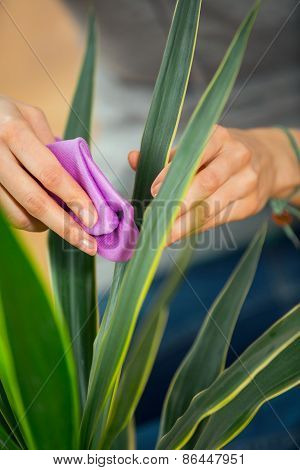 Woman hand cleaning houseplant in the pot at her home