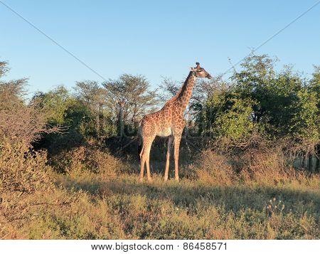 Giraffe At Evening Time