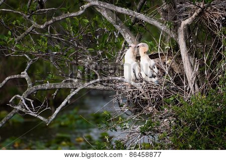 Two Anhinga Chicks In The Nest