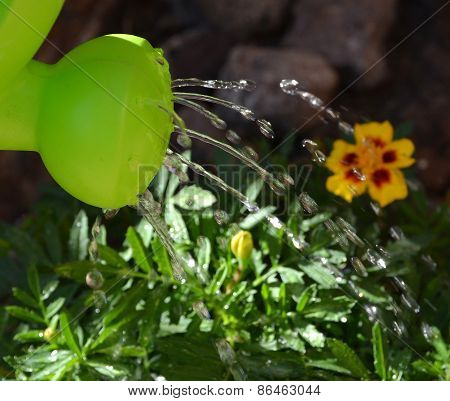 Watering can and yellow flowers.
