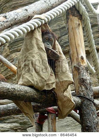 Covered Orangutan