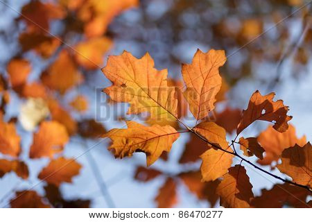 Oak tree leaves orange colors in autumn