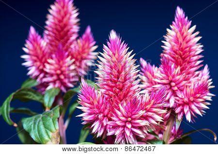 flowers fuchsia
