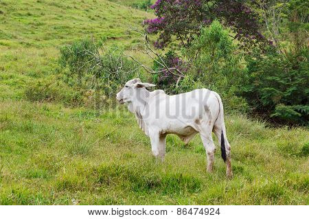 Nellore - Brazilian Beef Cattle In Mountains, White Bul