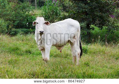 Nellore - Brazilian Beef Cattle In Field, White Bull