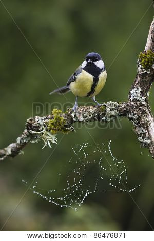 great tit perched on a branch, Vosges, France