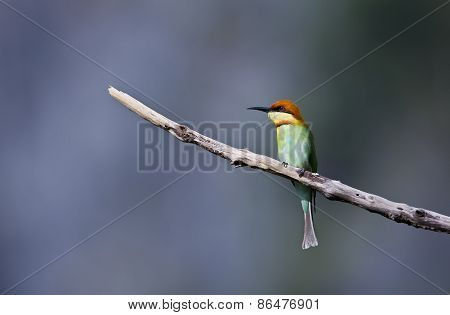 Merops leschenaulti, chestnut headed bee-eater, Thailand