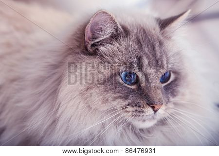 Beautiful cat with blue eyes.