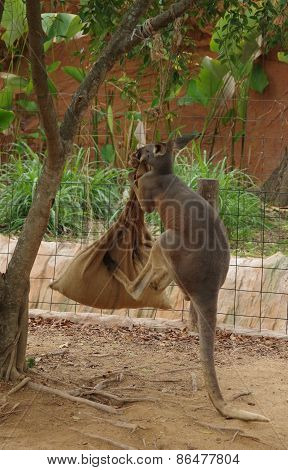 Kangaroo kicking a sack.