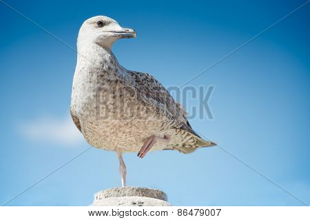 Young Herring Gull At The First Winter