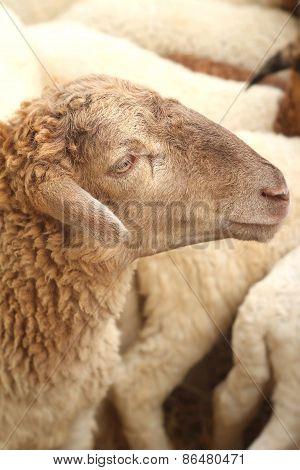 Many Lambs On The Farm.