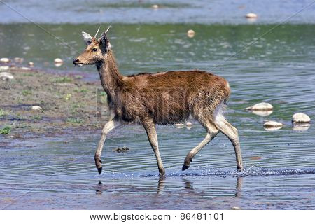 swamp deer crossing the Karnali river, Bardia, Nepal