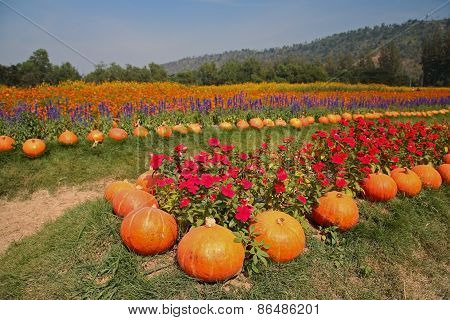 Pumpkin And Flower Garden At Jim Thomson Farm