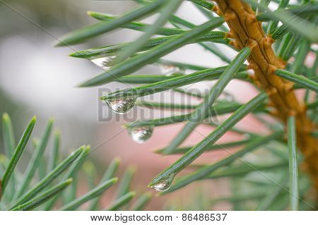 Rain Drops At The Ends Of Branches