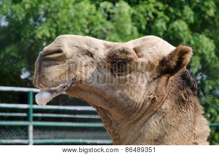 Camel In Zoo Salivary Frothy.