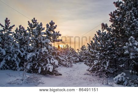 Landscape, Sunrise In Winter Forest