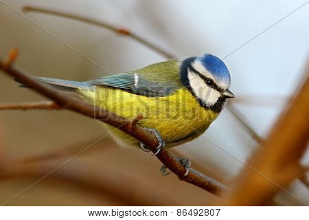 Blue tit bird on branch