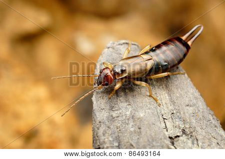 Closeup of tawny earwig in its natural environment
