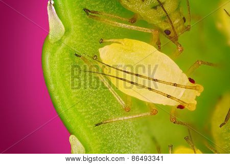 Extreme sharp and detailed view of Green aphids on leaf taken with microscope objective