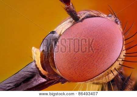 Extreme sharp and detailed study of Dagger fly head taken with 10x microscope objective