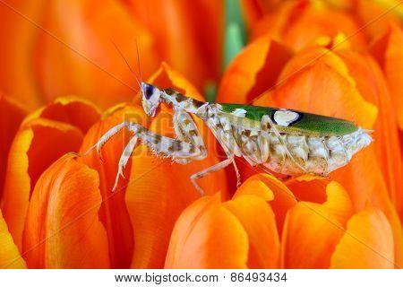 Closeup of white mantis in orange flowers
