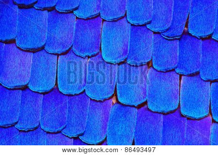 Extreme 20x detail of Morpho Rhetenor Cacica butterfly wing.