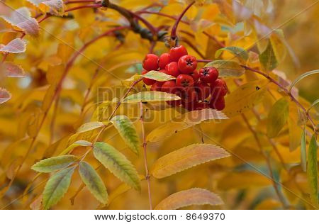 Ripe Ashberry