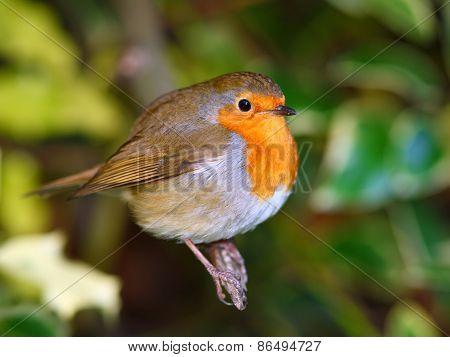Robin bird on the branch