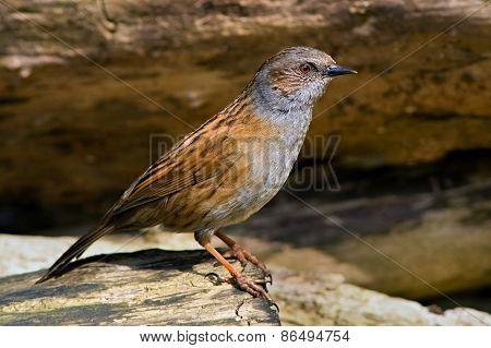Dunnock bird on the branch