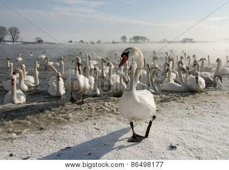 Swans and Winter