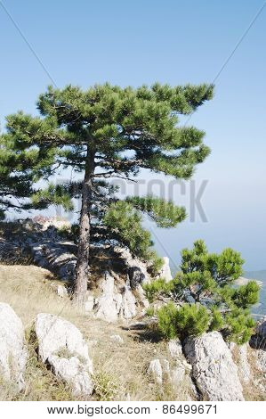Crimean pine on top of Ai-Petri plateau, Crimea.