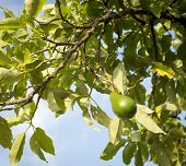 stock photo of avocado  - Avocado tree with ripe avocado with blue sky background - JPG