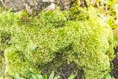 stock photo of green algae  - Tree with green moss and algae growing in the wild - JPG