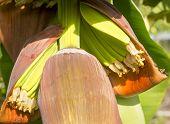 stock photo of banana tree  - Banana trees in a banana plantation in Queensland Australia - JPG