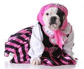 picture of pirate girl  - dog dressed up like a pirate on white background  - JPG
