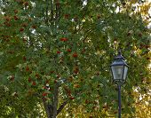 picture of rowan berry  - Lamppost this side a rowan - JPG