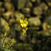 picture of rape-seed  - Close up of rape flower in the filed - JPG