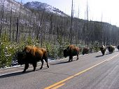 picture of bull rushes  - herd of bison lined up in a road in yellowstone - JPG