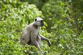 stock photo of hanuman  - Semnopithecus entellus - JPG