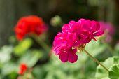 foto of geranium  - Pink Geranium in the mountains of Gangneung South Korea - JPG