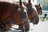 image of carriage horse  - horses with blinders - JPG