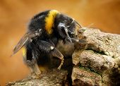 stock photo of bumble bee  - Detail of bumble bee taken with macro lens - JPG